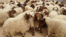 جميع انواع الغنم و الماعز و الذبائح للبيع