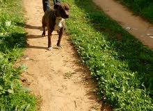 كلب بيتبول لون تايقر العمر خمسة شهور اونص