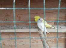 طيور حب رماديات مع القفص