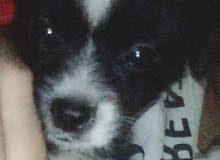 كلب جريفون فرنساوي عمر 3 شهور