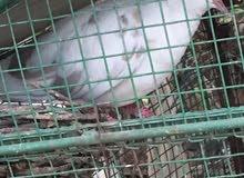 للبيع دجاج تايلندي