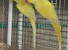 ringnick yellow breeding pair 4 years old