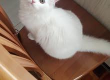 للبيع   قطة نوع انغورا