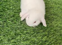 ارانب لوب بيور مستويات توب اعمار شهرين