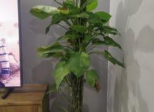 نبات زينة داخلي