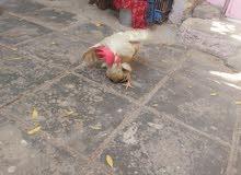 ديج دجاجه عرب للبيع