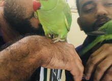 Tamed Friendly  Indian green neck parrot,cage for Sale Dhs/-450