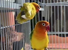 very nice healty active pairs love birds and fishers