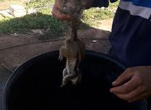 السنجاب البري للبيع وهو حيونا نباتي 100/100