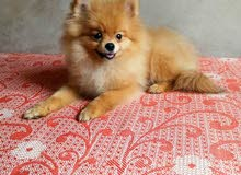 Pomeranian puppy available for sale