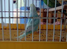 طائر البيروش (البادجي)