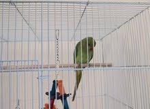 Indian Ringneck With Big Cage and Toys