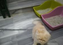 قطط مكس شيرازي و شانشيلا