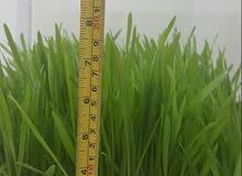 غرفة استنبات الشعير سعة 1طن يوميا الحل المثالي لتوفير اعلاف المواشي