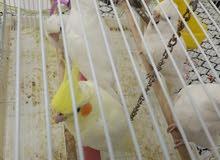 للبيع طيور الكروان ( كوكتيل)