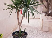 نباتات يوكا