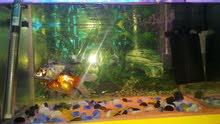حوض سمك مراوس بكناري
