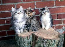 Pedigree Siberian Kittens