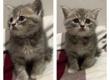 قطط صغيرة كيتنز برتش بيور