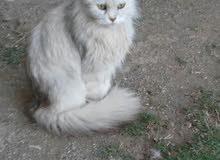 قطه شيرازية أمريكية
