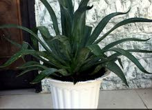 Al Batinah -  Natural and Artificial Plants available for sale