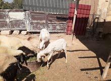 نعجه خرطوميه تحتها خروف