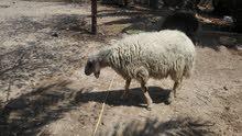 خروف للبيع