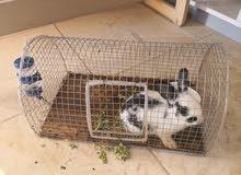 أرنب للبيع مع القفص (سيتم حذف الإعلان قريباً)