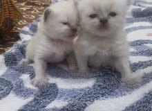 للبيع قطط هملايا