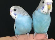 طيور بادجي اليفه