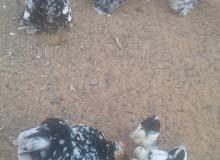 3 دجاجات وفروج ريشة بريشة المانى