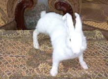 أرنب أبيض محنط