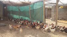 للبيع دجاج منتج