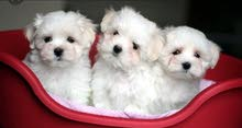 Pure Breed MALTESE Puppies Available