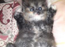 قطط عمرشهرين