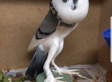 طيور اوربا