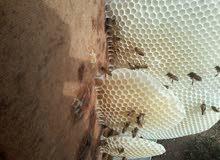 خلايا نحل عسل طبيعي