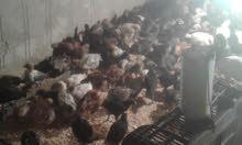 دجاج للبيع عمر شهر