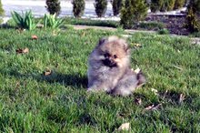 Pomeranian بومرينيان