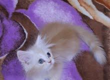 Fullfy beautiful playful orange marble Persian male kitten