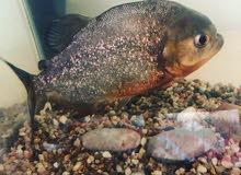 red belly piranha