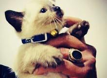 قطة سيامو للبيع سيامي حرة السن شهر و 25يوم