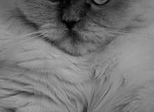 مطلوب قطه هملايا (انثى) عمرها 8 اشهر واكبر