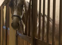 مطلوب افراس وأحصنة قطع عالية