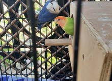 love bird breeding pair with big cage and breeding box