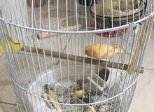 breeding pair / Canary