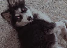 كلب هاسكي