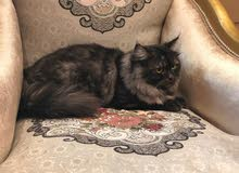 قطط شيرازيه بيور ( ذكور ) للبيع