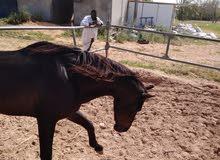 حصان عقد استبدال بسياره جيب او فورد