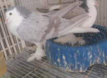 حمام شيرازي للبيع